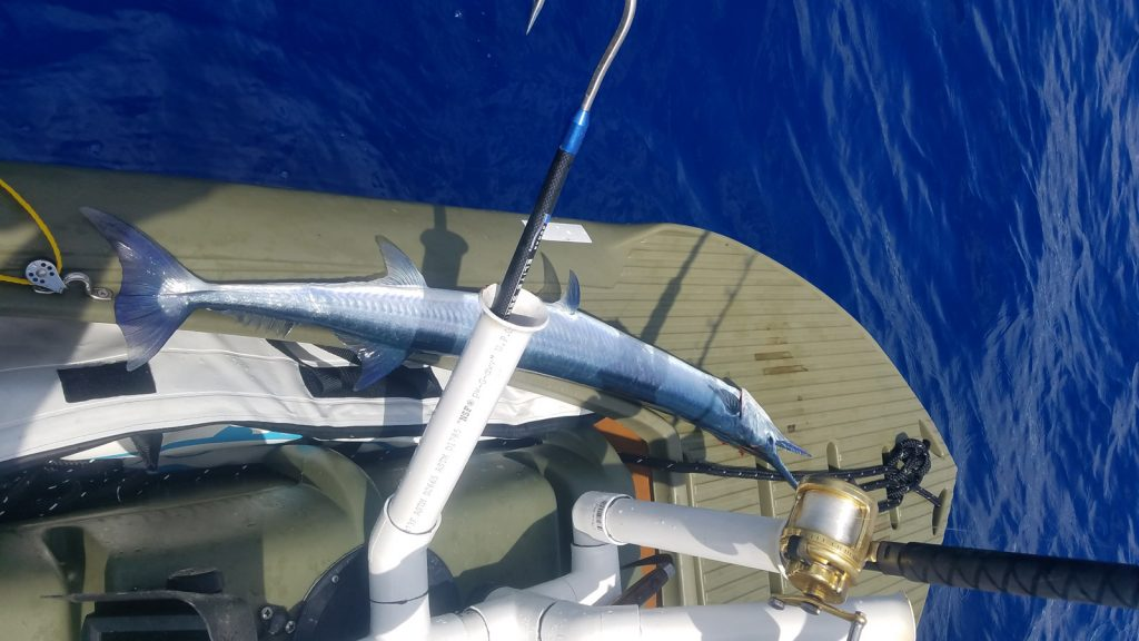 Giant needlefish on deck